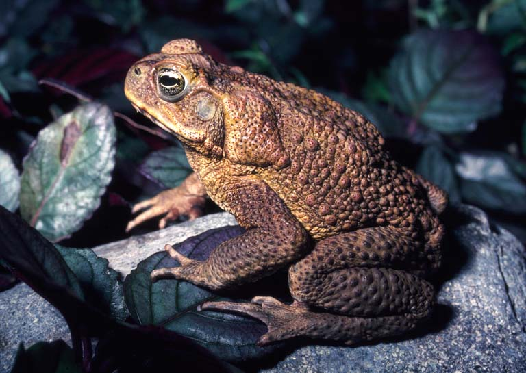 Cane Giant Toad Rhinella Marinus Printable Version