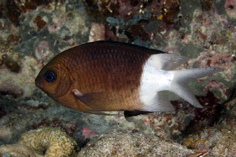 Acanthochromis polyacanthus Spiny Chromis Goggle Reef Great Barrier Reef IMG_8487.jpg