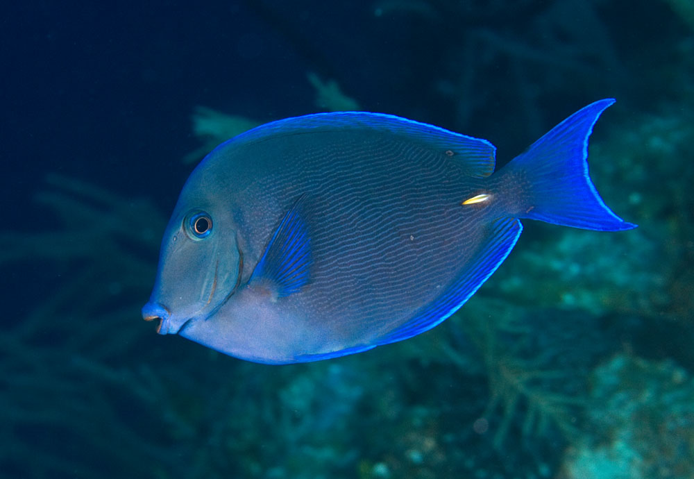 Photos of tangs and surgeonfishes acanthuridae for Tang saltwater fish