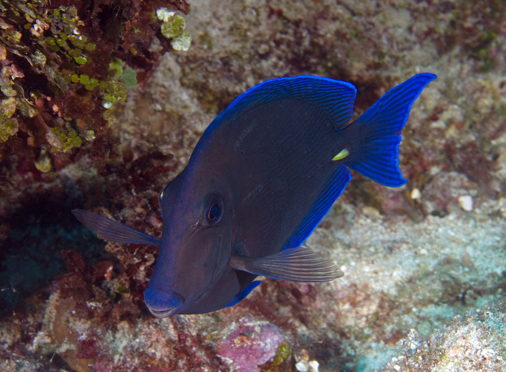 Photos of tangs and surgeonfishes acanthuridae for Blue saltwater fish