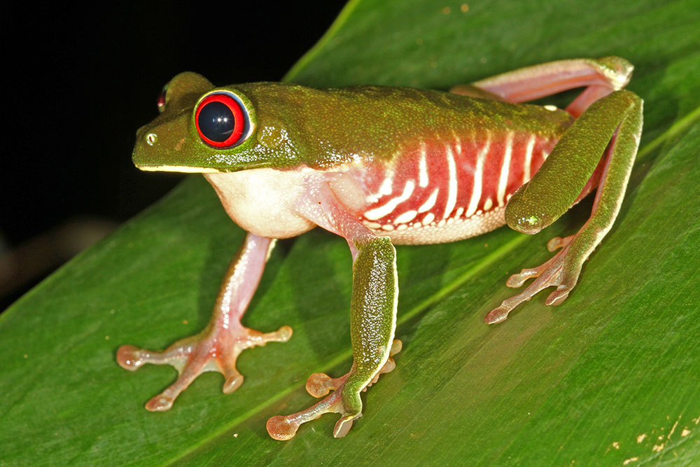 Agalychnis calidryas Red-eyed tree frog male, calling, Carate Costa Rica