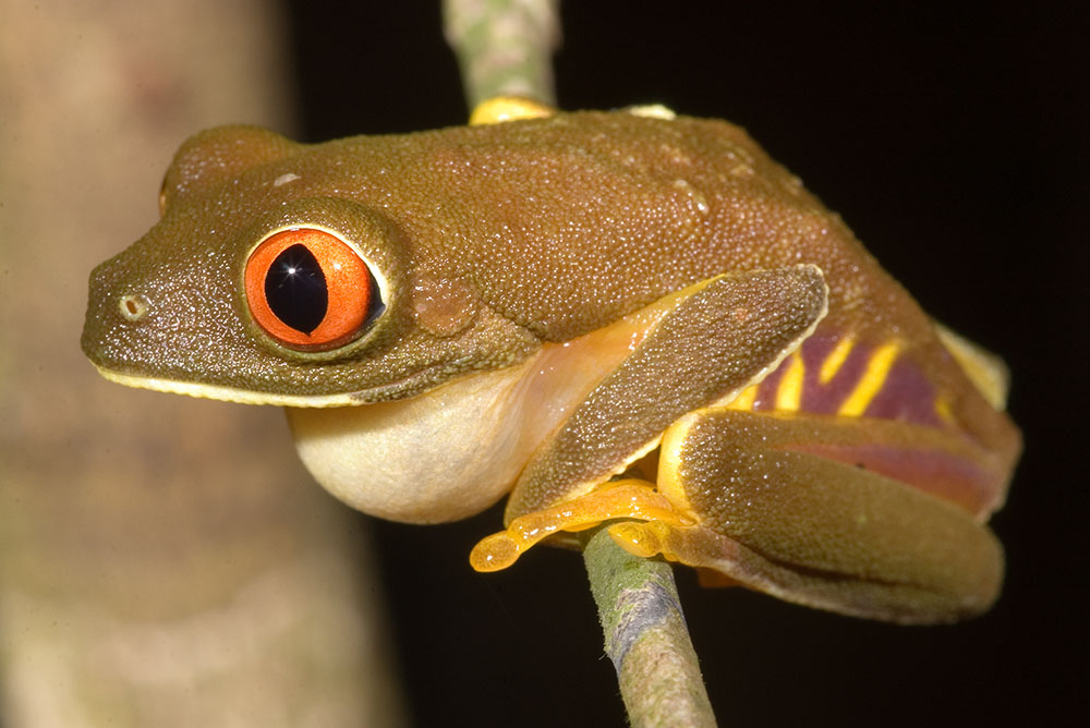 Calling red-eyed tree frog Belize