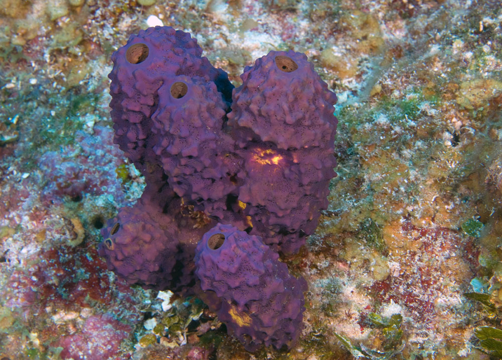 purple sponge, Ailochroia crassa, Glover's Reef, Belize