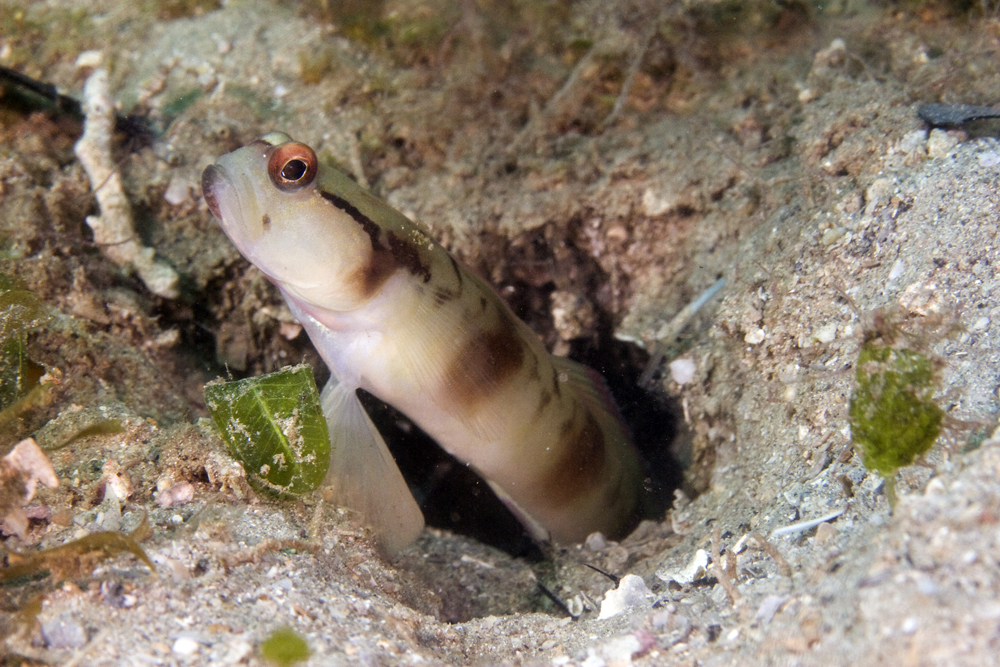 nakedhead shrimpgoby photo