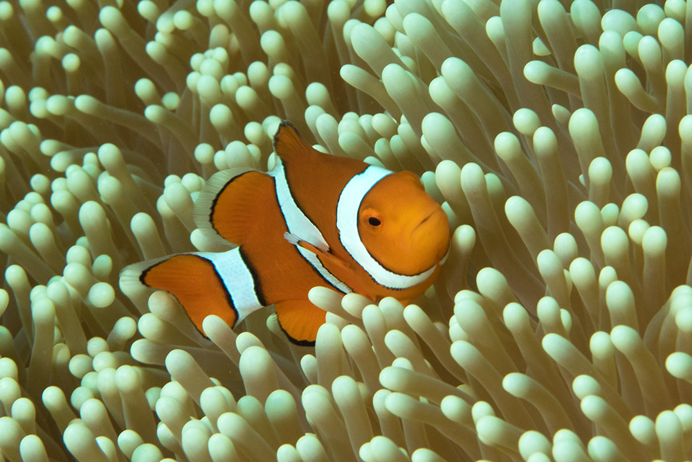 Amphiprion percula Clown anemonefish Steve's Bommie, Great Barrier Reef