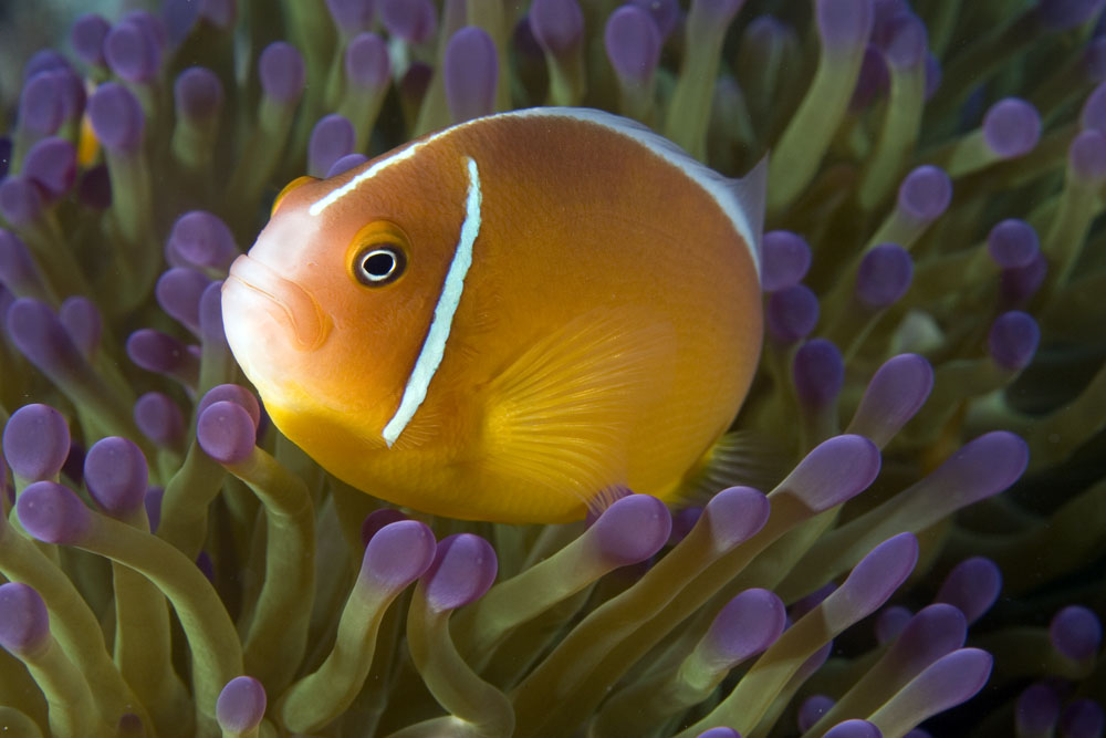 amphiprion perideraion Pink anemonefish