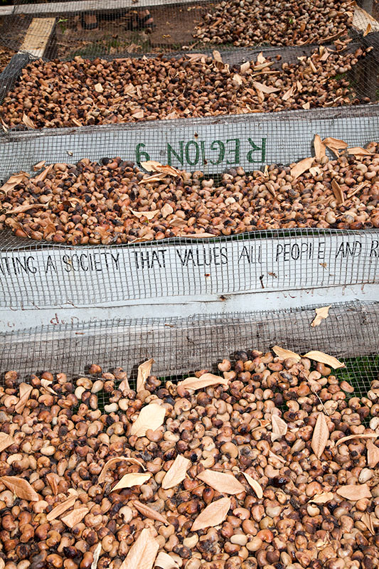 Anacardium occidentale Cashew seeds in drying racks, Rock View Lodge, Guyana