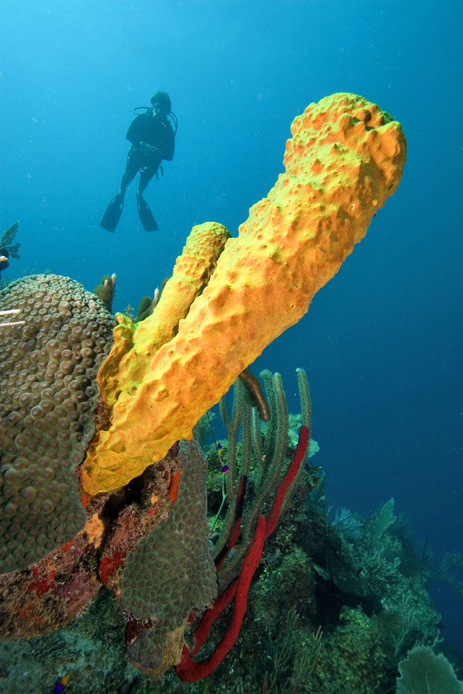 tubde sponge and diver Belize