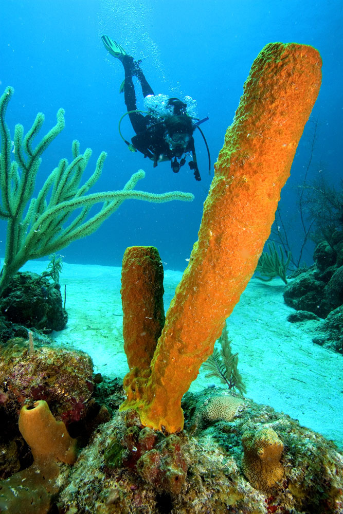 yellow tube sponge and diver Belize