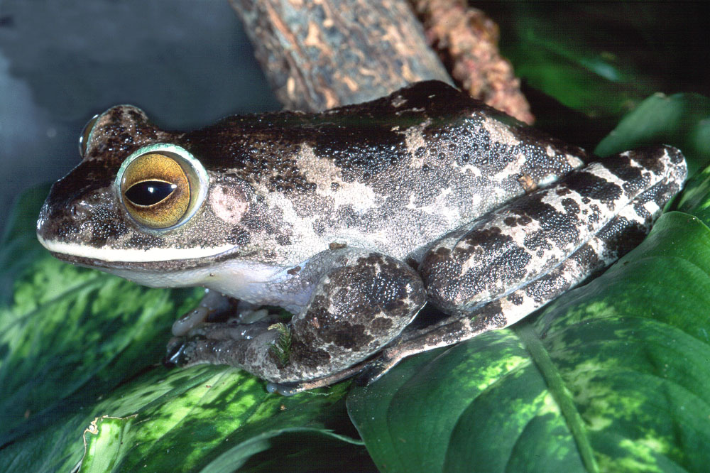 Boophis albilabrus Madagascan frog