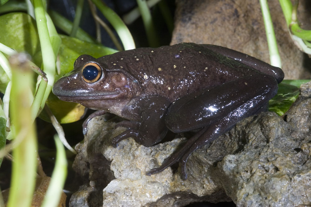 Boophis goudoti Madagascan forest frog