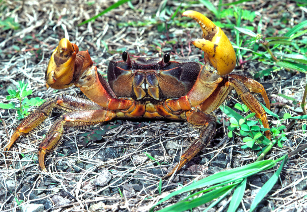 Cardiosoma land crab in defensive posture