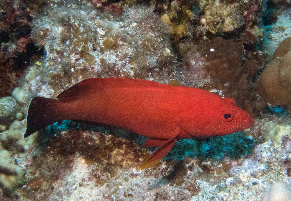 Cephalopholis hemistiktos Yellowfin hind Red Sea
