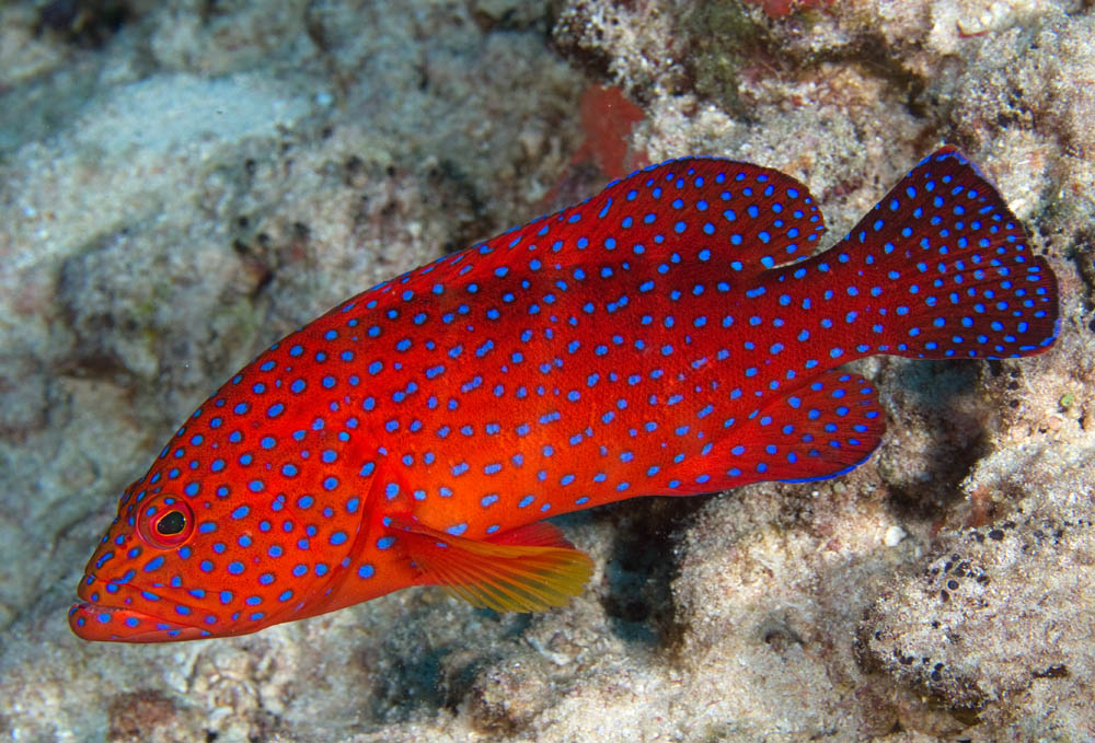 Photos of cods grouper and basslets family serranidae for Salt water fishes