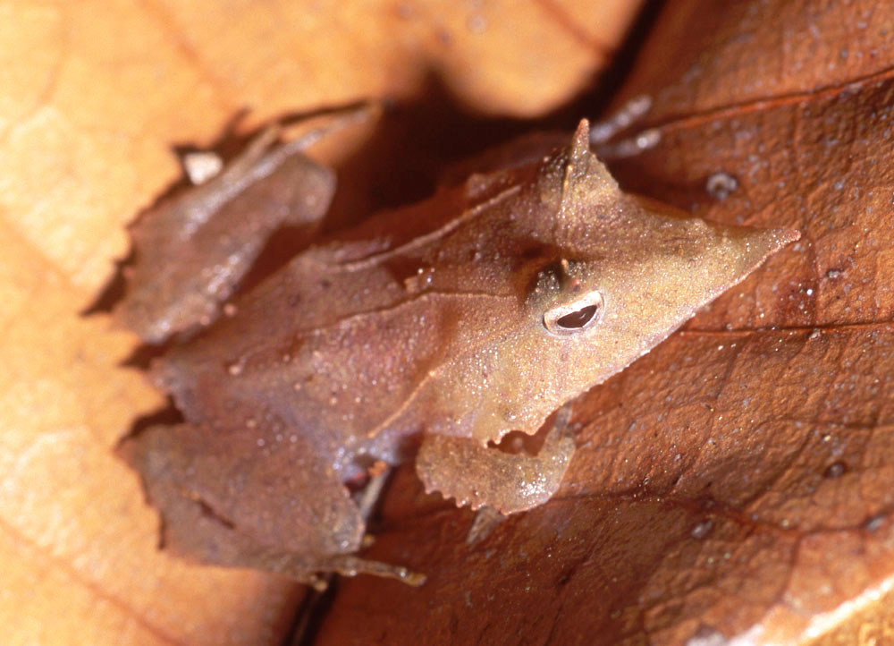 Ceratobatrachus guentheri Solomon Islands leaf frog