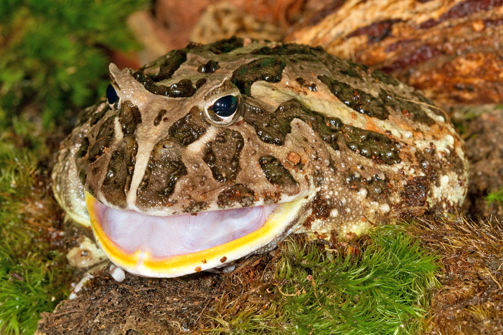 Ceratophrys ornata, South American horned frog