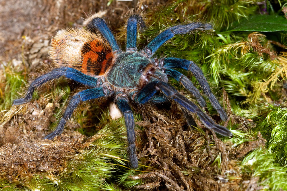 greenbottle blue tarantula