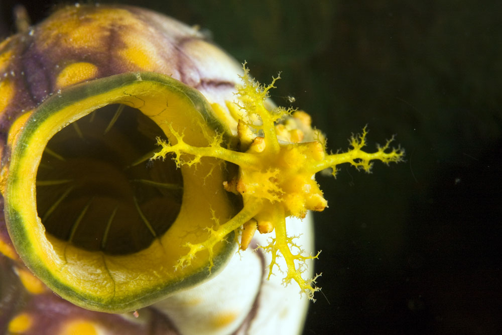 yellow sea cucumber on ascidian from above