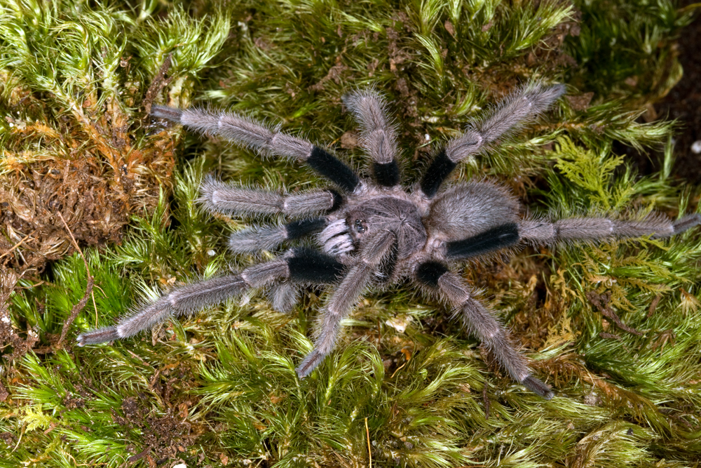 Coremiocnemis species tarantula on moss