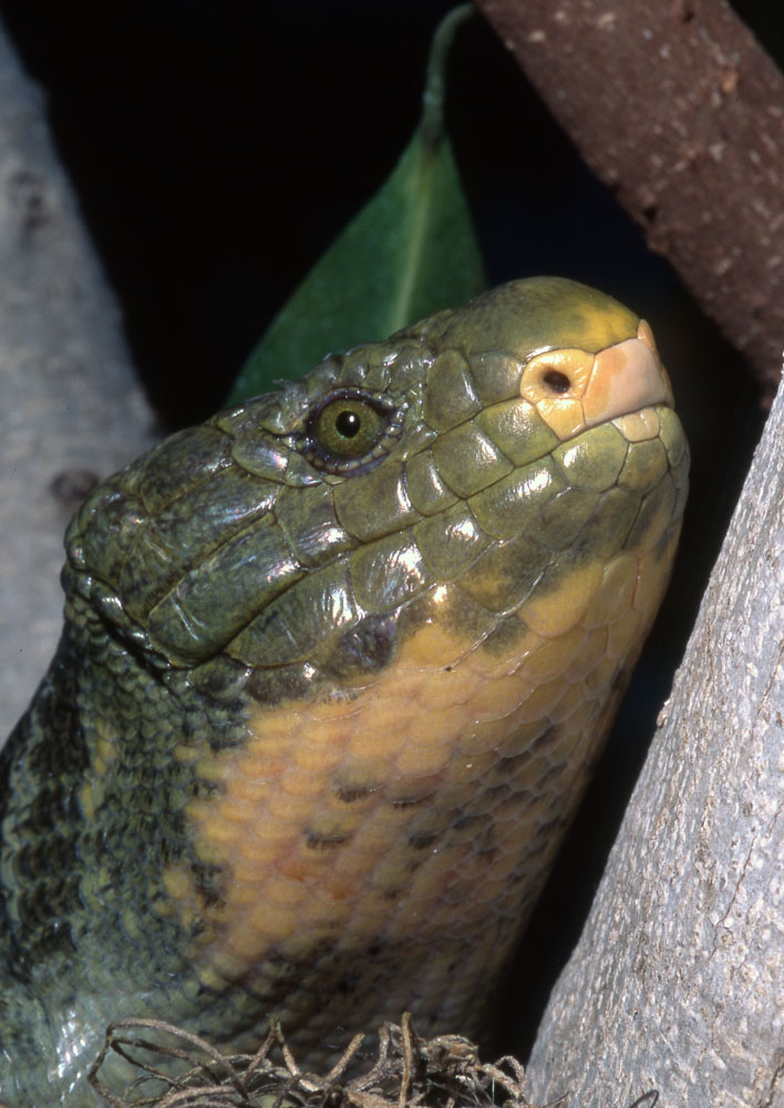 prehensile-tailed skink head shot