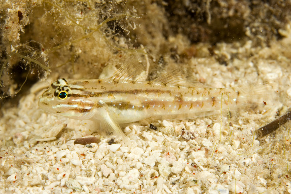 Coryphopterus glaucofraenum Bridled goby Belize