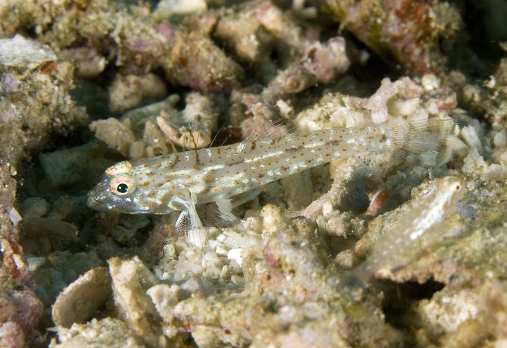 Coryphopterus neophytus Neophyte goby,