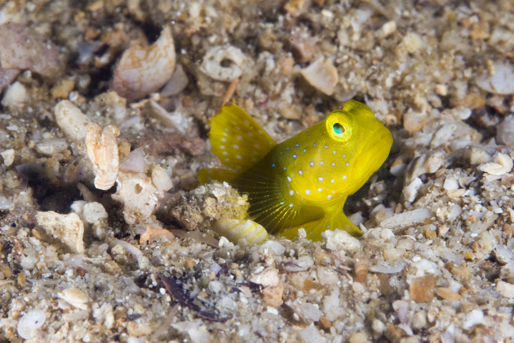 yellow banded shrimp goby