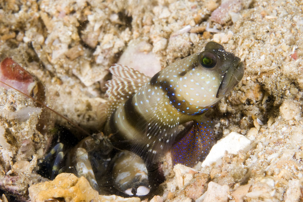 banded shrimp goby and prawn