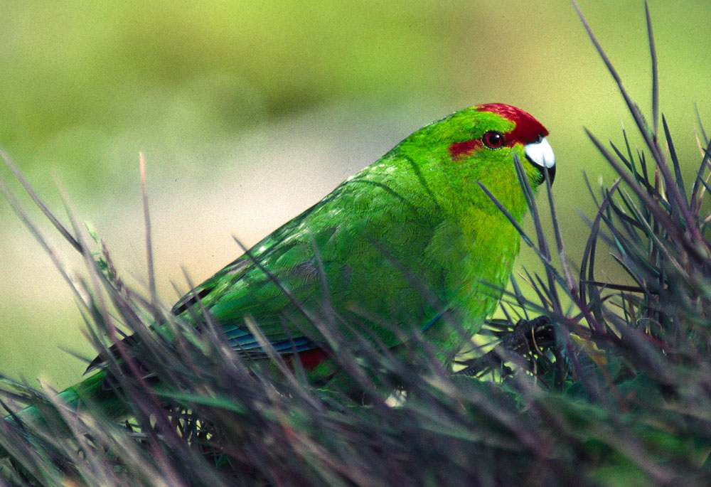 photo of redcrowned parakeet