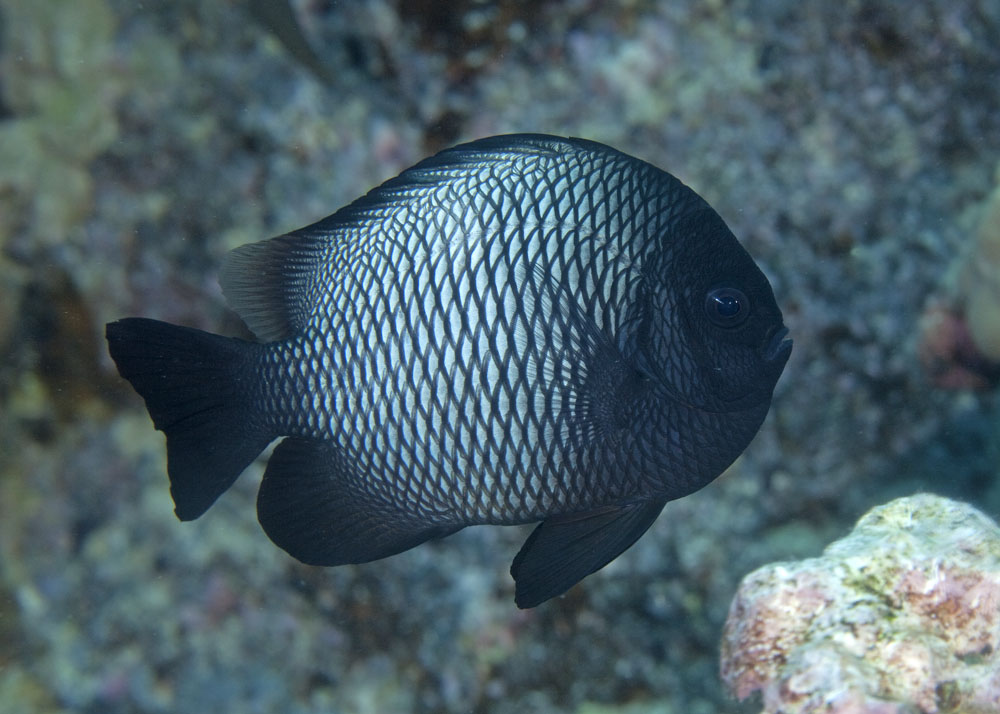 Photos of damselfishes family pomacentridae for Fish of hawaii
