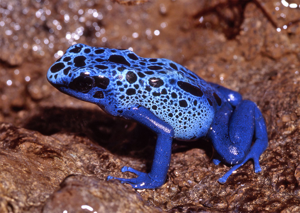 Photos of poison dart frogs (aka posion arrow frogs)