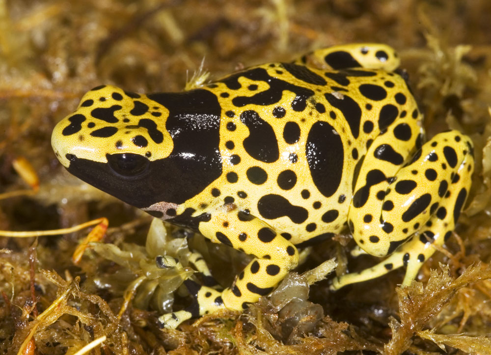 poison dart frog two
