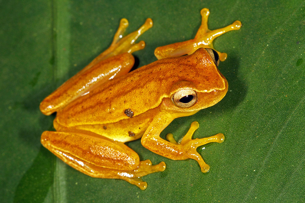 Dendropsophus microcephalus small-headed frog, Carate, Costa Rica
