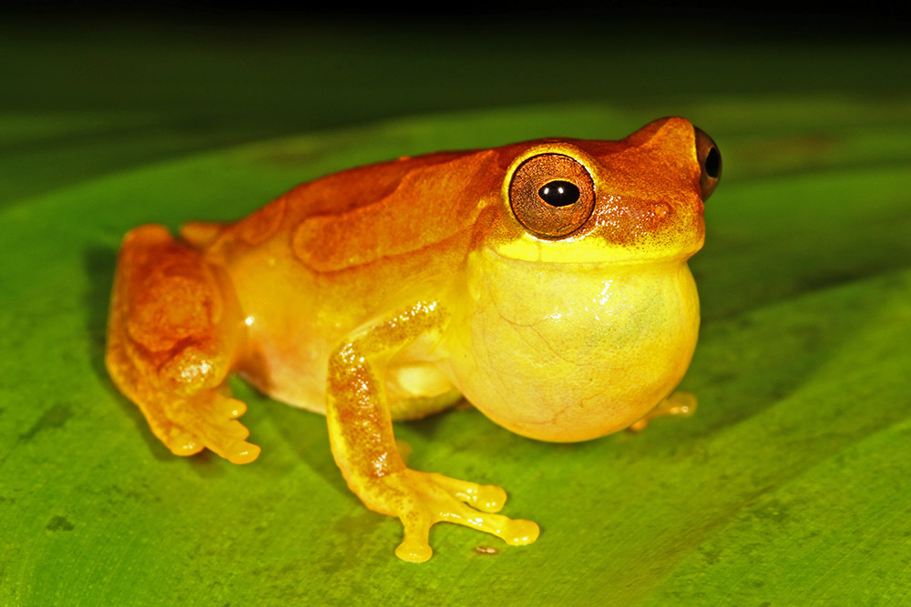 Dendropsophus ebraccatus Calling male hour glass tree frog Carate Costa Rica