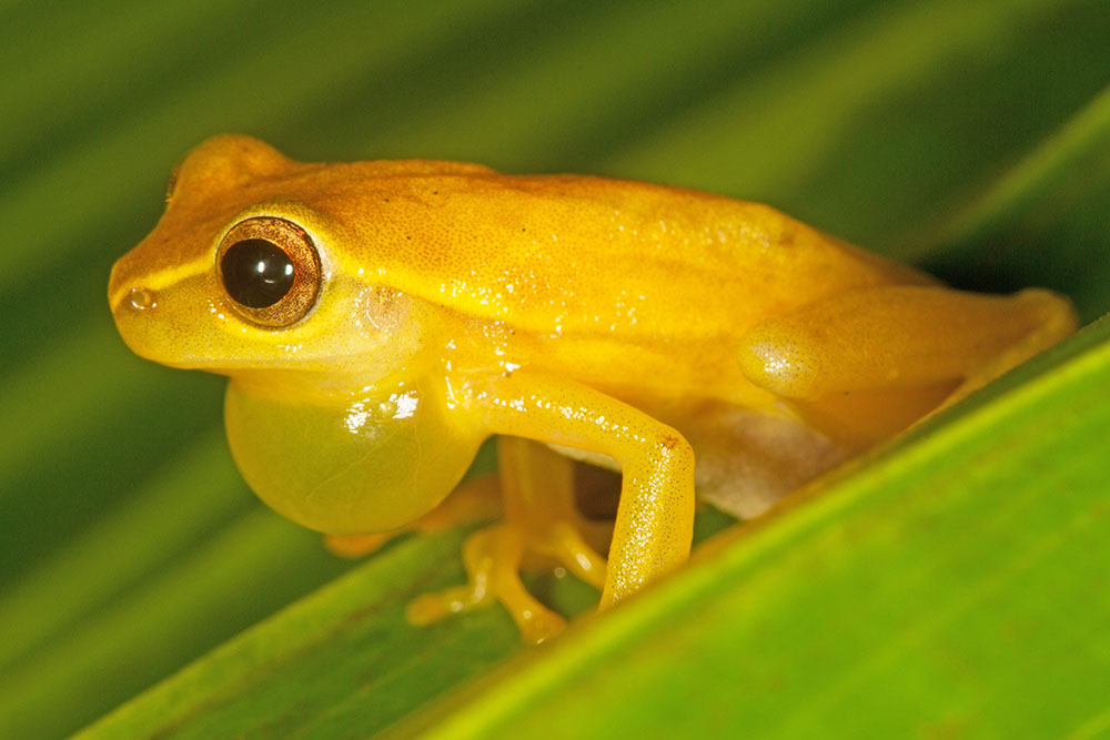 Calling male small-headed tree frog