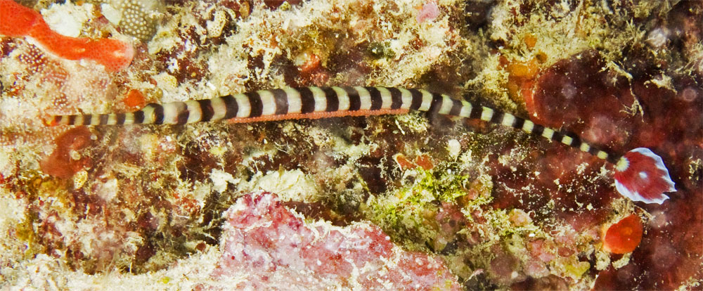 ringed pipefish with eggs