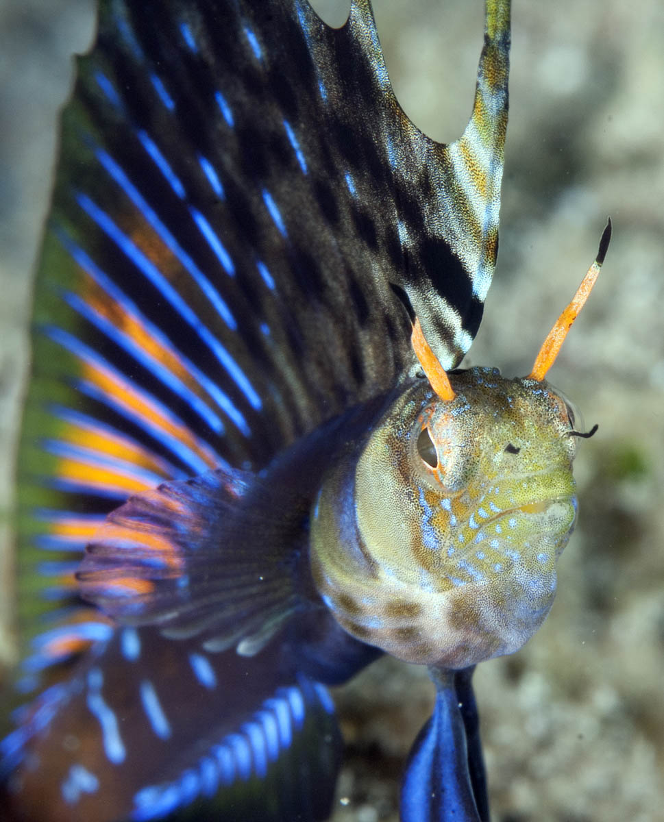Male singal blenny displaying close-up photo