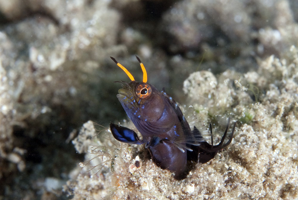 Male signal blenny photo
