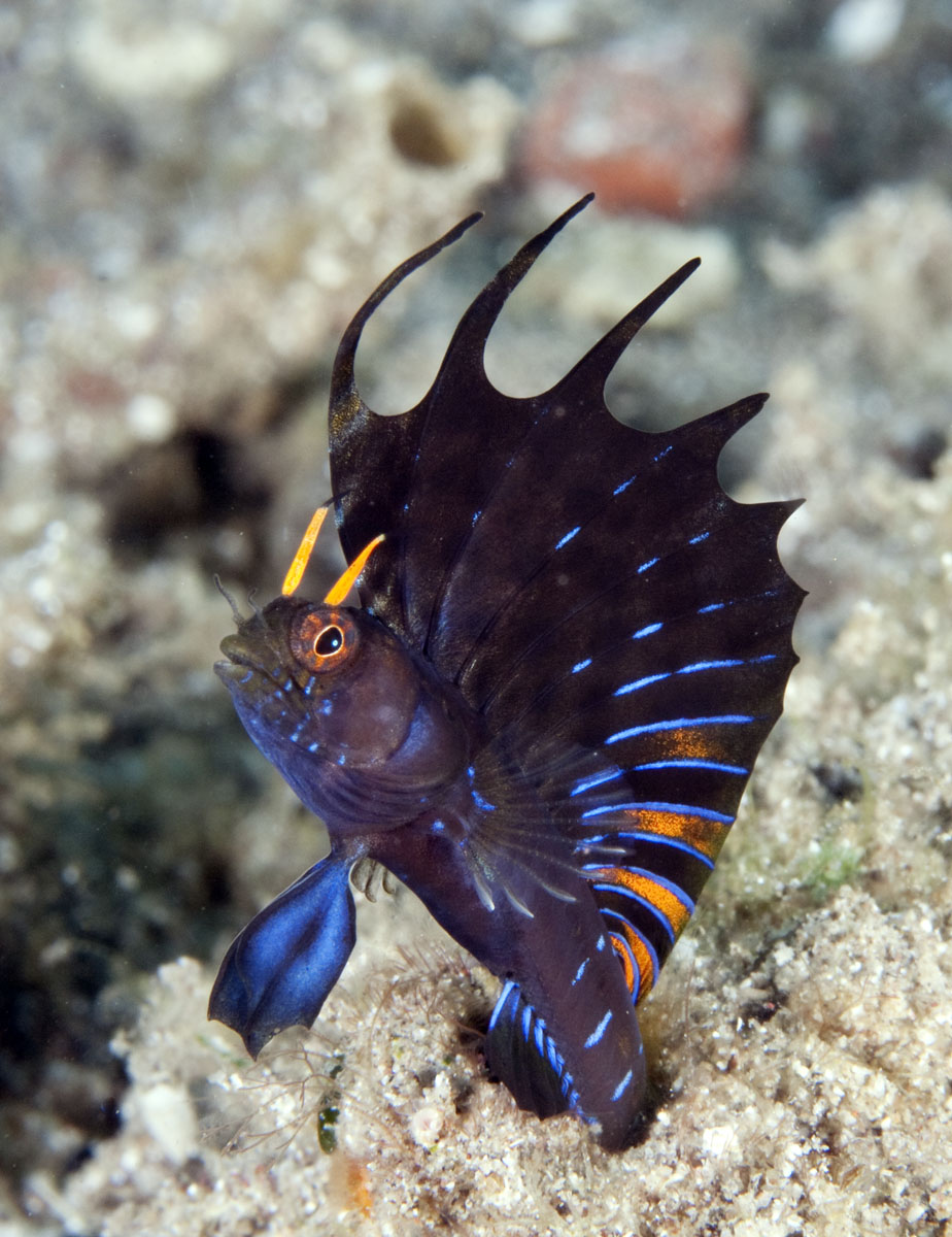 Fish species in the world beauty blennies fish for Gulf fish species