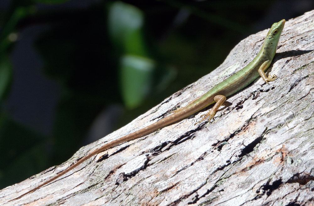 Green tree skink, Fiji