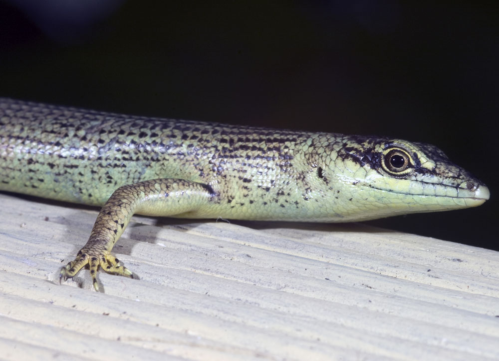 Green tree skink head shot