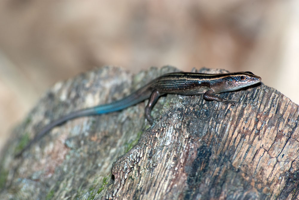 Blue-tailed copper-striped skink