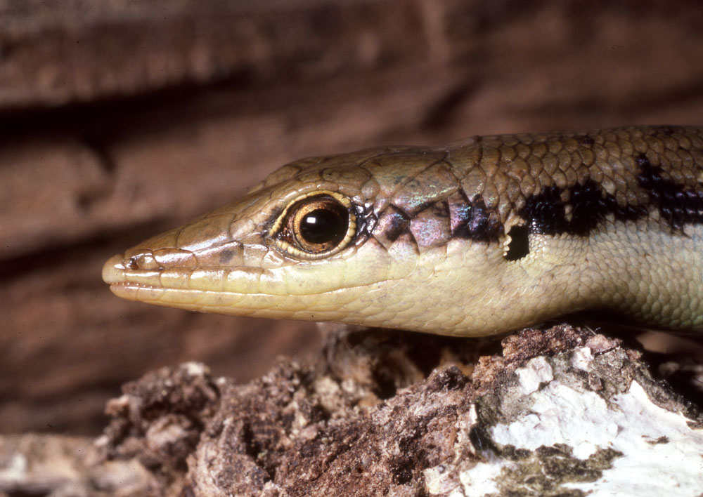 Fijian copper-headed skink head shot