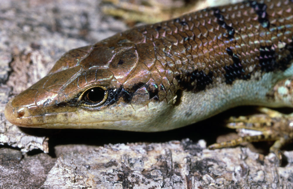 barred tree skink