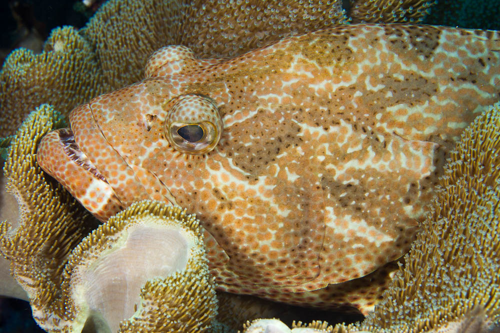 Epinephelus spilotoceps, Four-saddle grouper