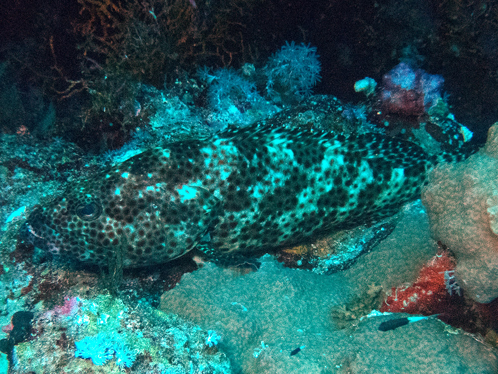 Epinephelus tauvina Greasy grouper Red Sea