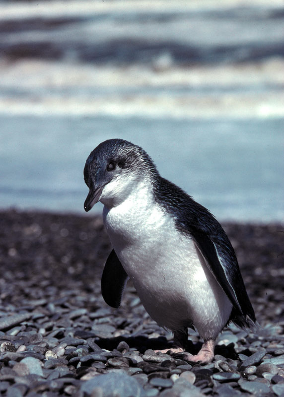 Eudyptula minor Blue penguin, fairy or little penguin, Westland