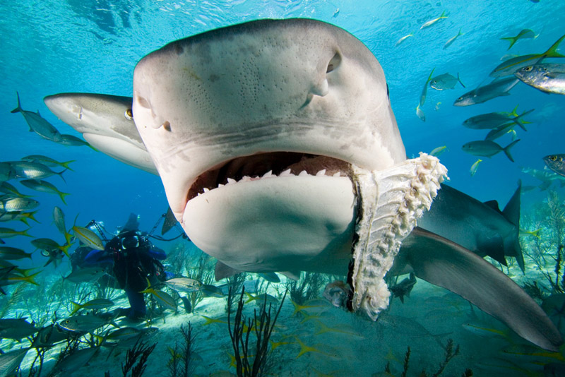 Tiger Sharks Eating People