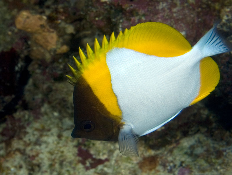 pyramid butterflyfish photo