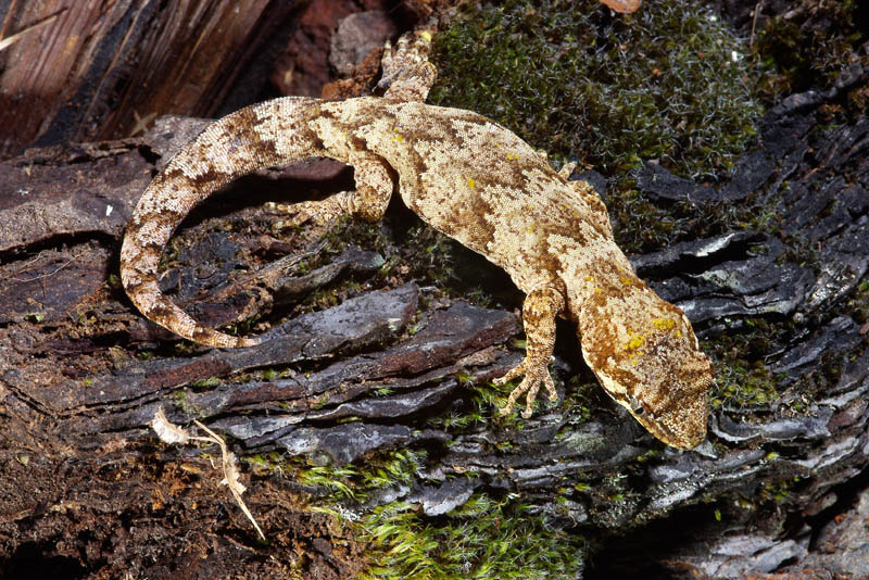 http://www.ryanphotographic.com/images/JPEGS/Hoplodactylus%20granulatus%20Forest%20gecko.jpg